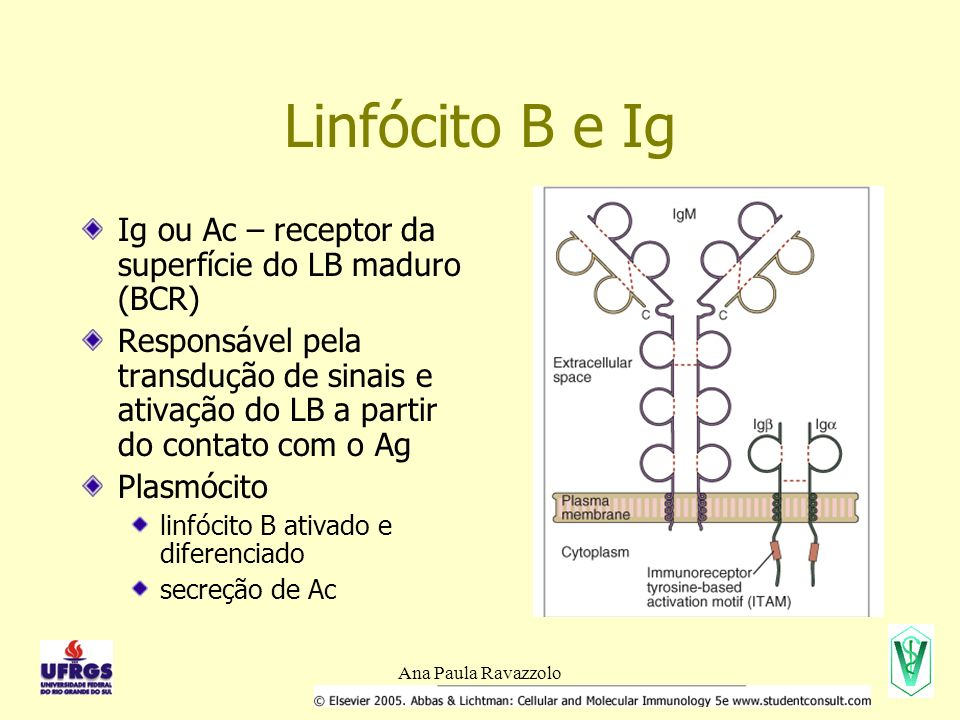Linfócito B e Ig Ig ou Ac – receptor da superfície do LB maduro (BCR)