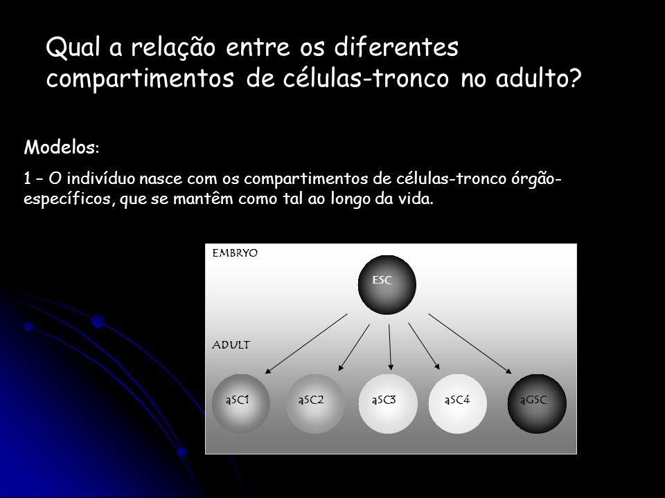 Qual a relação entre os diferentes compartimentos de células-tronco no adulto
