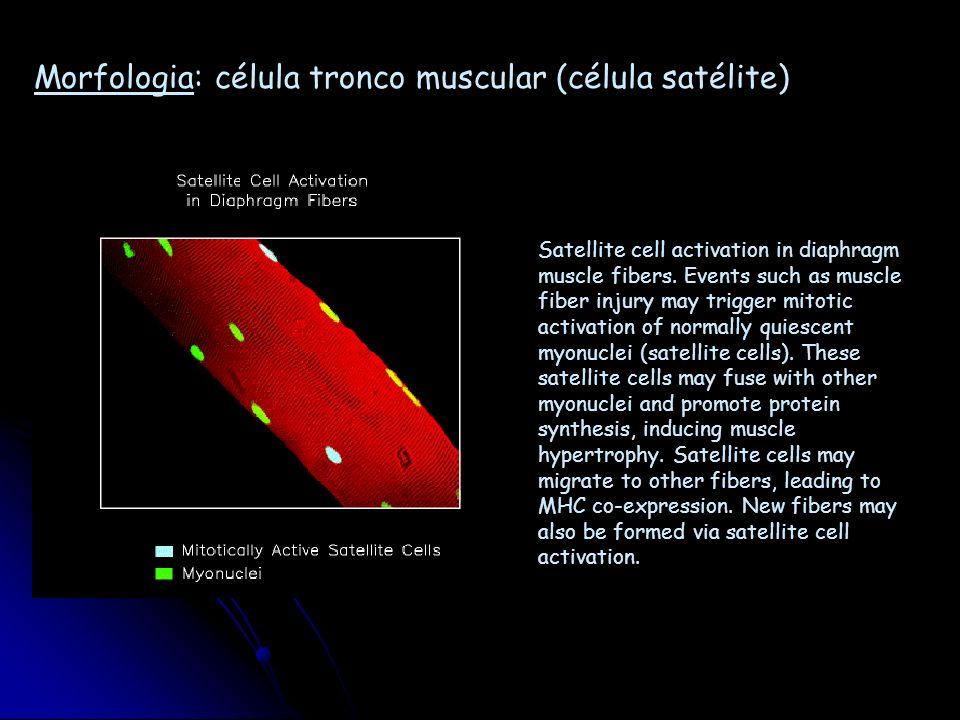 Morfologia: célula tronco muscular (célula satélite)