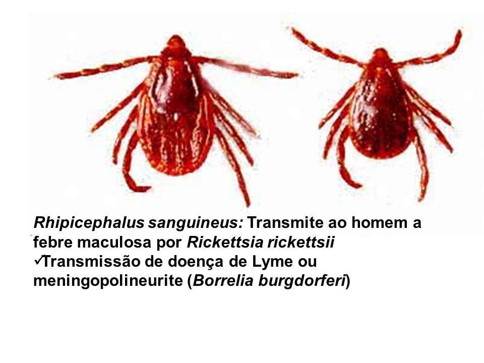 Rhipicephalus sanguineus: Transmite ao homem a febre maculosa por Rickettsia rickettsii