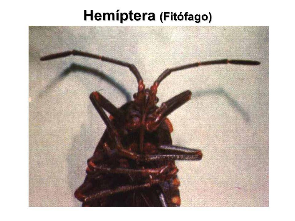Hemíptera (Fitófago)