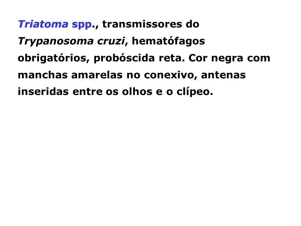 Triatoma spp., transmissores do Trypanosoma cruzi, hematófagos obrigatórios, probóscida reta.