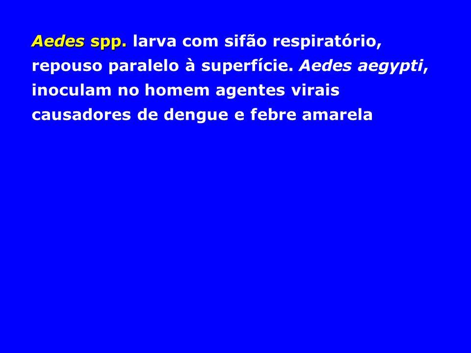 Aedes spp. larva com sifão respiratório, repouso paralelo à superfície