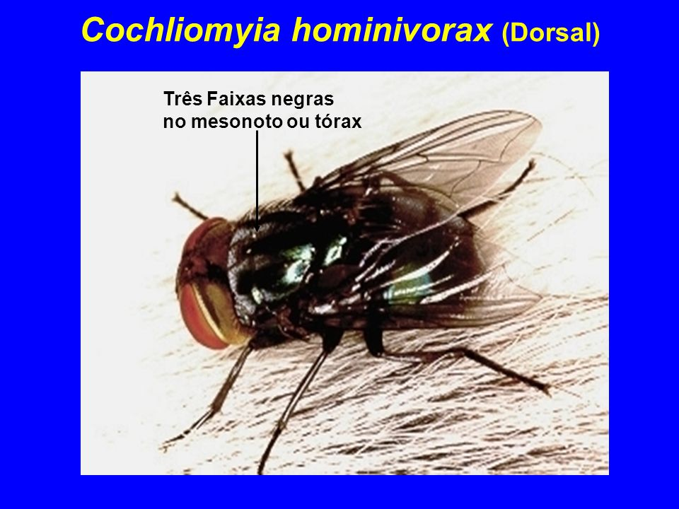 Cochliomyia hominivorax (Dorsal)