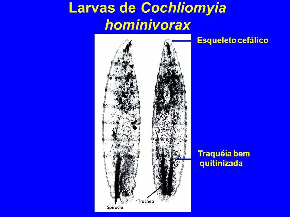 Larvas de Cochliomyia hominivorax
