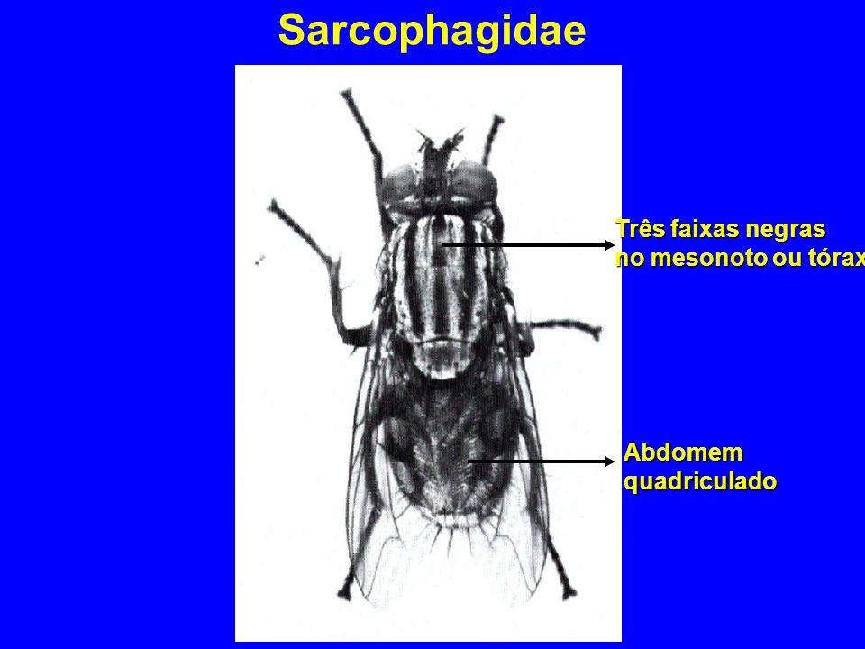 Sarcophagidae Três faixas negras no mesonoto ou tórax Abdomem