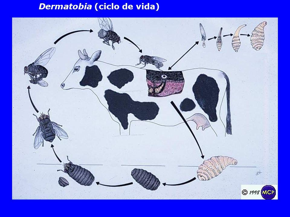 Dermatobia (ciclo de vida)