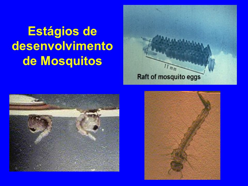 Estágios de desenvolvimento de Mosquitos