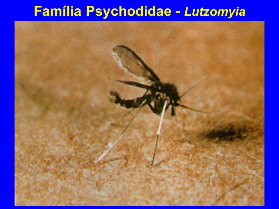 Família Psychodidae - Lutzomyia