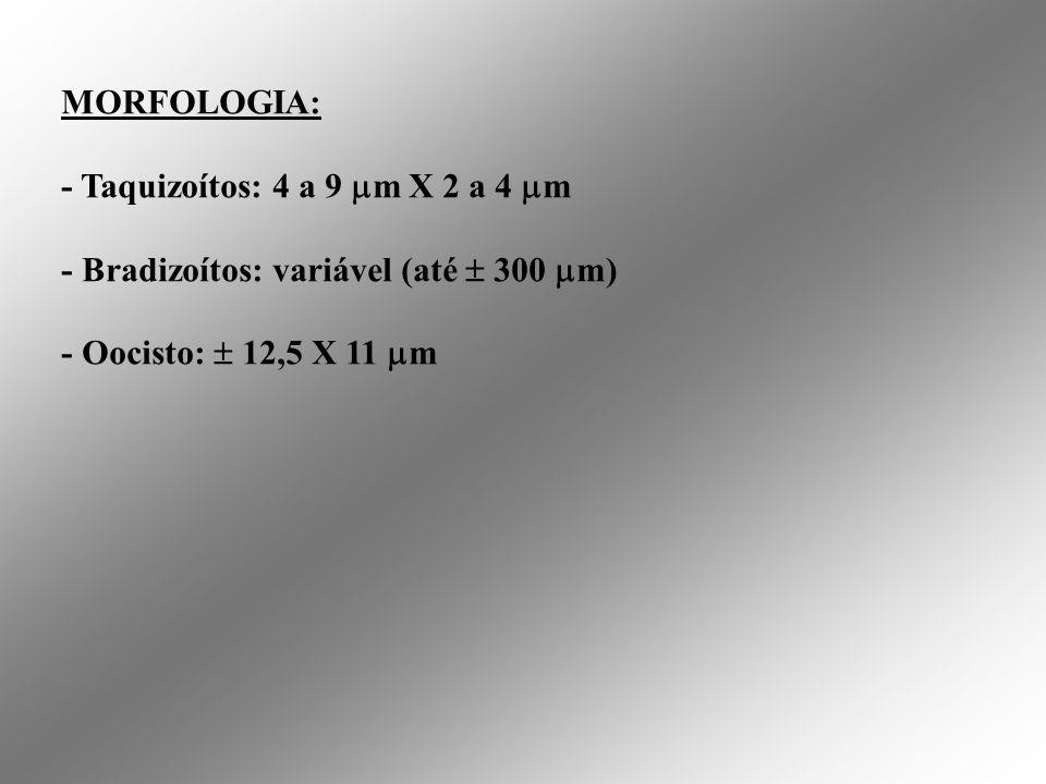 MORFOLOGIA: - Taquizoítos: 4 a 9 m X 2 a 4 m.