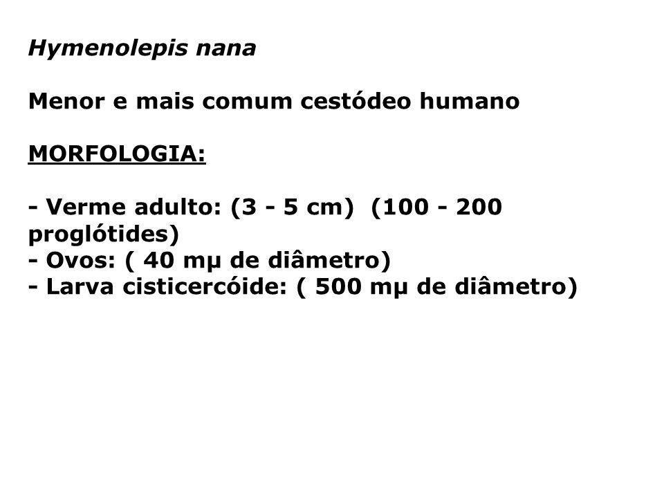 Hymenolepis nanaMenor e mais comum cestódeo humano. MORFOLOGIA: - Verme adulto: (3 - 5 cm) (100 - 200 proglótides)
