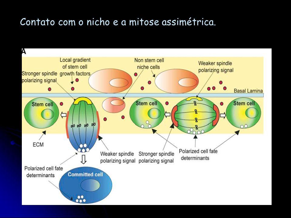 Contato com o nicho e a mitose assimétrica.