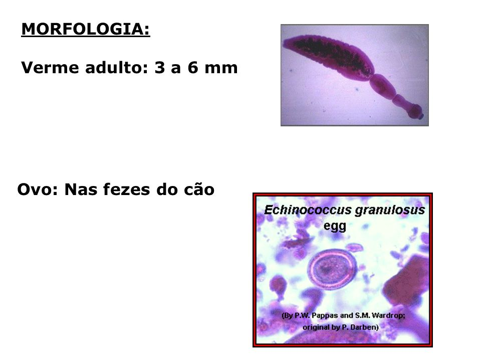 MORFOLOGIA: Verme adulto: 3 a 6 mm Ovo: Nas fezes do cão