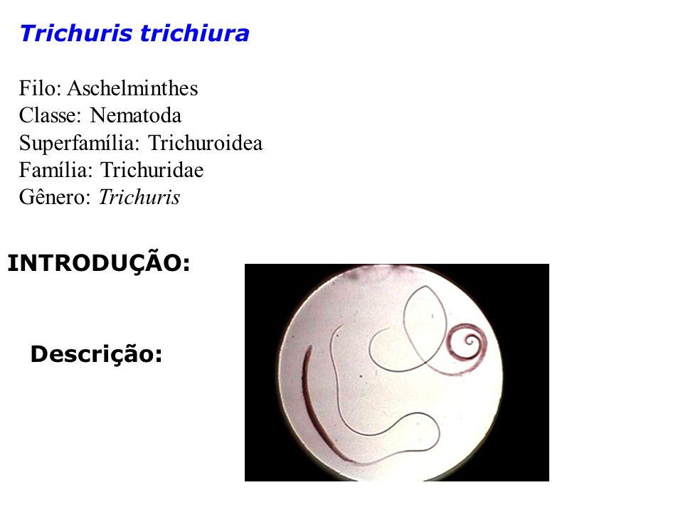 Trichuris trichiura Filo: Aschelminthes. Classe: Nematoda. Superfamília: Trichuroidea. Família: Trichuridae.