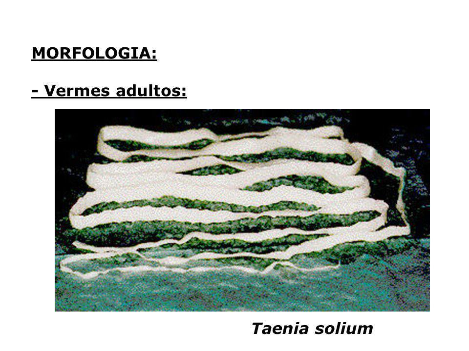 MORFOLOGIA: - Vermes adultos: Taenia solium