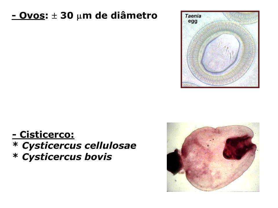 - Ovos:  30 m de diâmetro - Cisticerco: * Cysticercus cellulosae * Cysticercus bovis