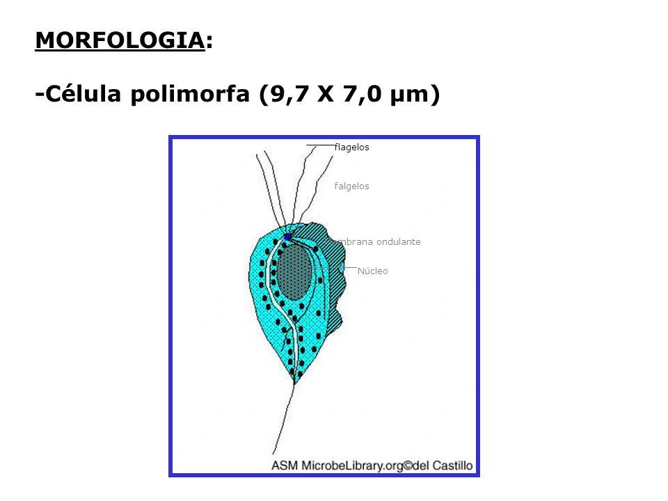 -Célula polimorfa (9,7 X 7,0 µm)