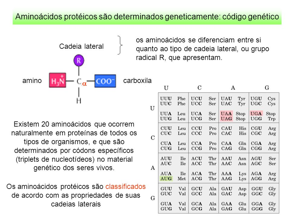 Aminoácidos protéicos são determinados geneticamente: código genético