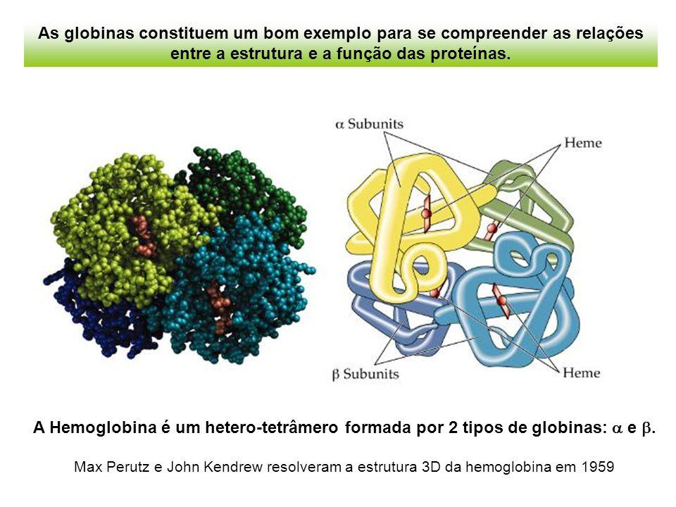 As globinas constituem um bom exemplo para se compreender as relações entre a estrutura e a função das proteínas.