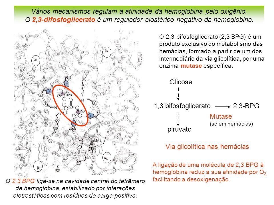 Vários mecanismos regulam a afinidade da hemoglobina pelo oxigênio.