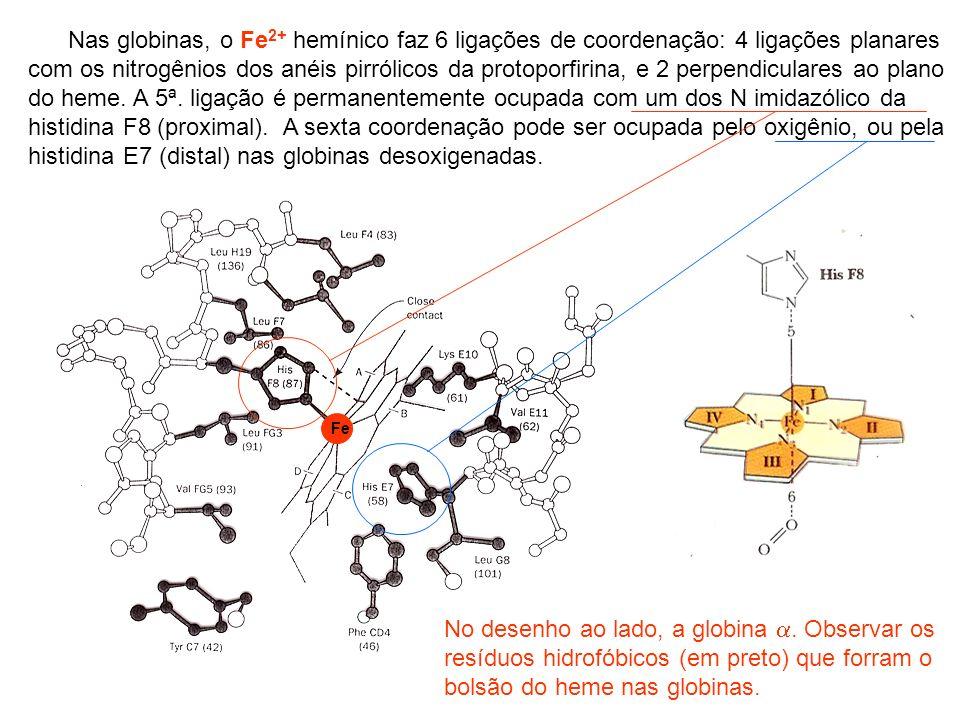 Nas globinas, o Fe2+ hemínico faz 6 ligações de coordenação: 4 ligações planares com os nitrogênios dos anéis pirrólicos da protoporfirina, e 2 perpendiculares ao plano do heme. A 5ª. ligação é permanentemente ocupada com um dos N imidazólico da histidina F8 (proximal). A sexta coordenação pode ser ocupada pelo oxigênio, ou pela histidina E7 (distal) nas globinas desoxigenadas.