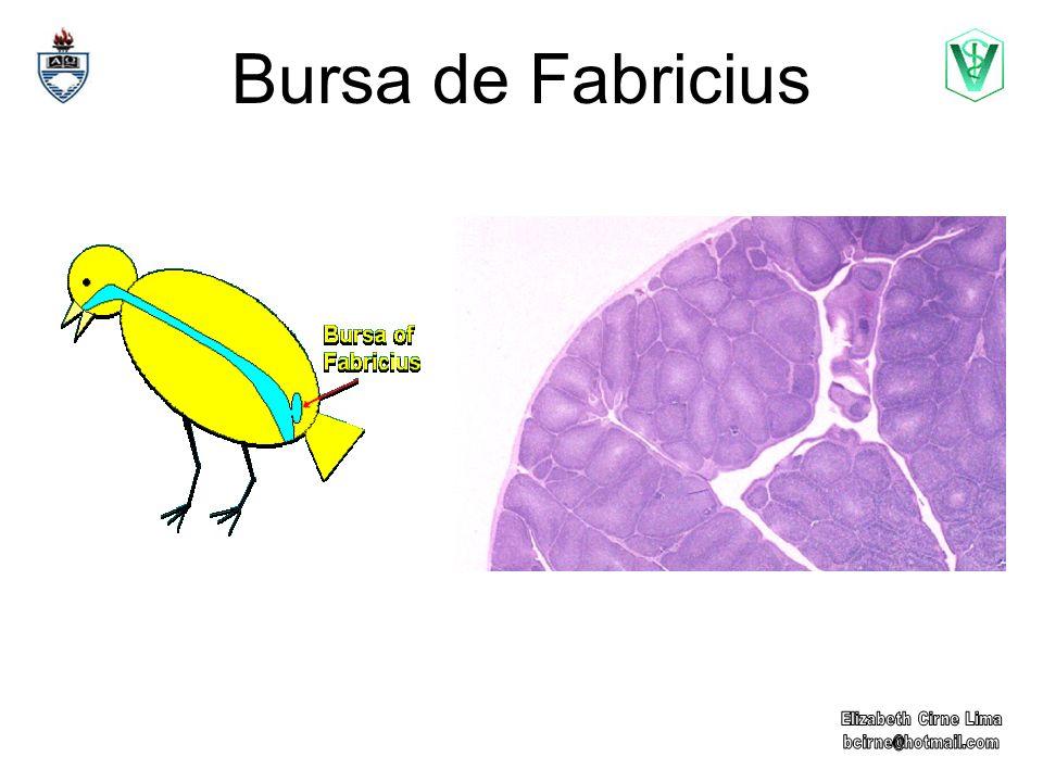 Bursa de Fabricius Elizabeth Cirne Lima bcirne@hotmail.com