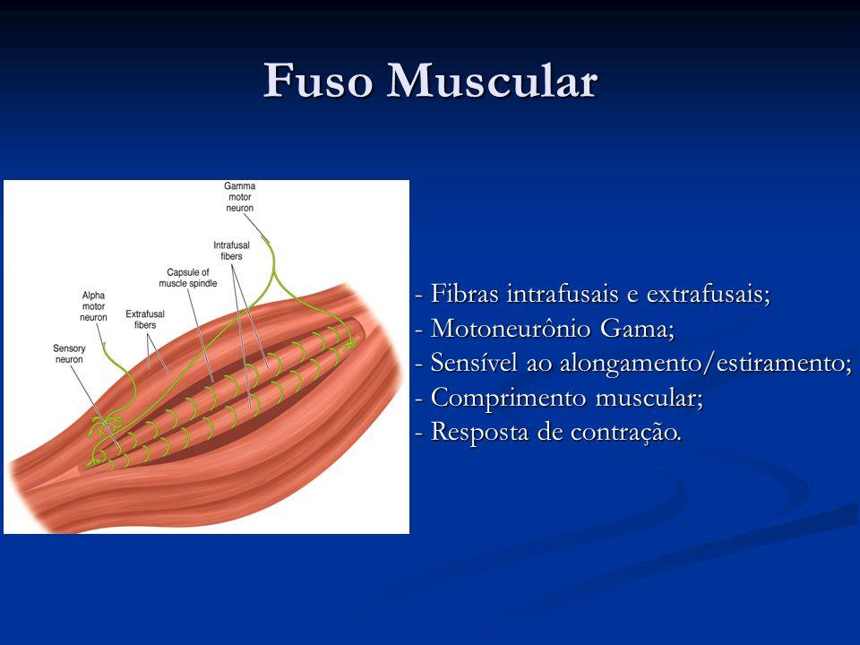 Fuso Muscular Fibras intrafusais e extrafusais; Motoneurônio Gama;