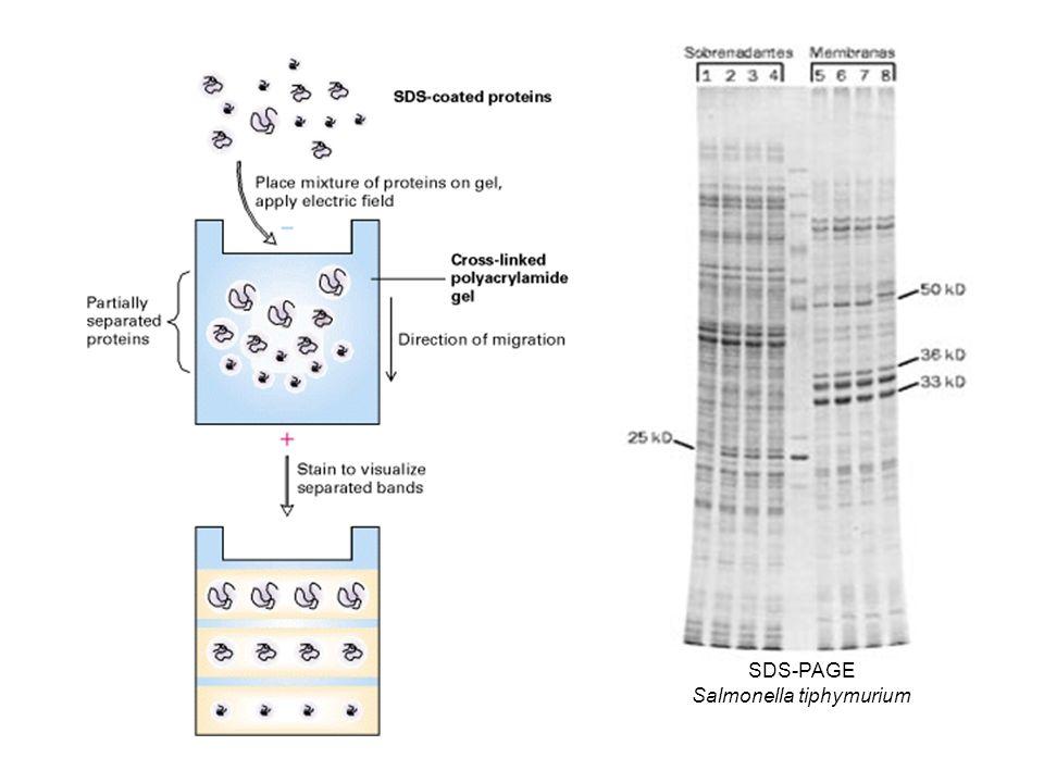 Salmonella tiphymurium