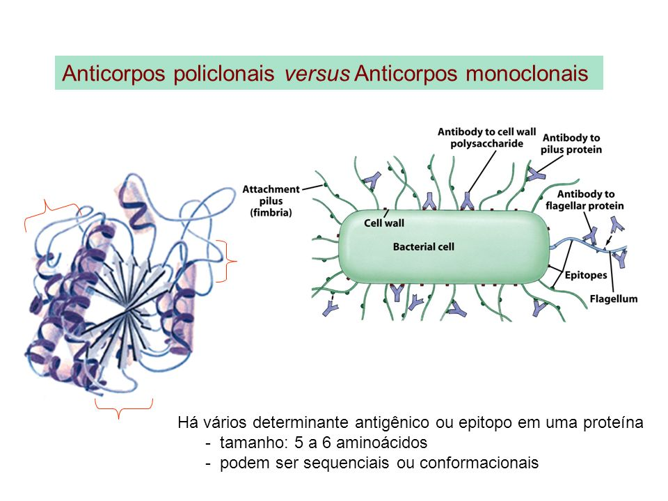Anticorpos policlonais versus Anticorpos monoclonais