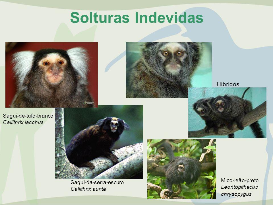 Solturas Indevidas Híbridos Sagui-de-tufo-branco Callithrix jacchus