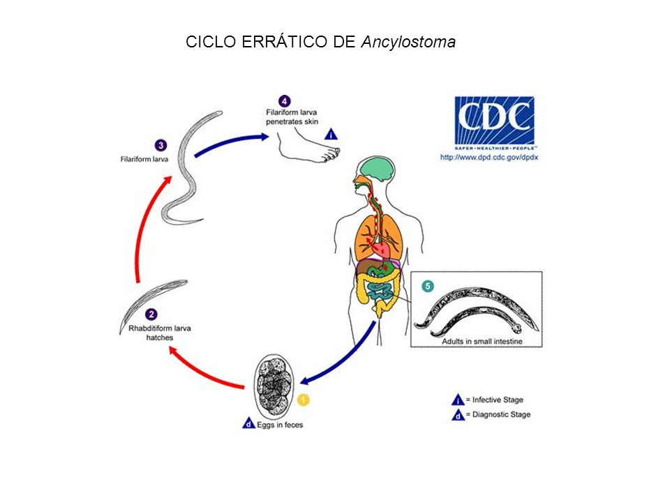 CICLO ERRÁTICO DE Ancylostoma