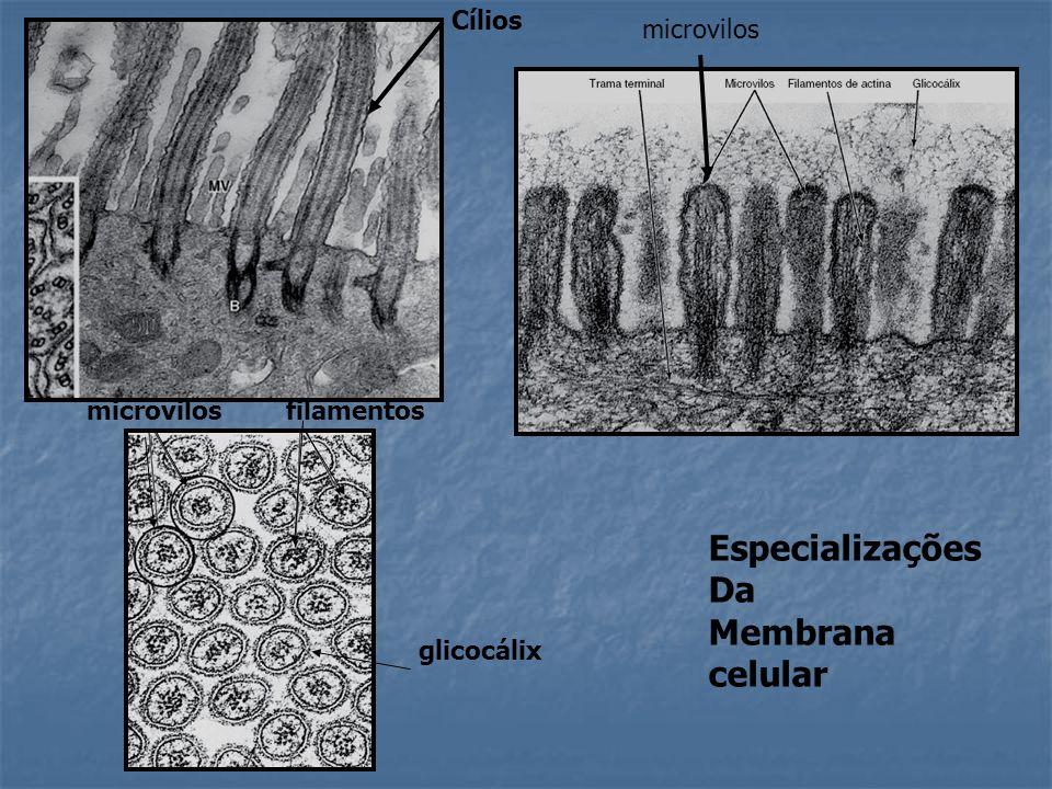 Especializações Da Membrana celular Cílios microvilos microvilos