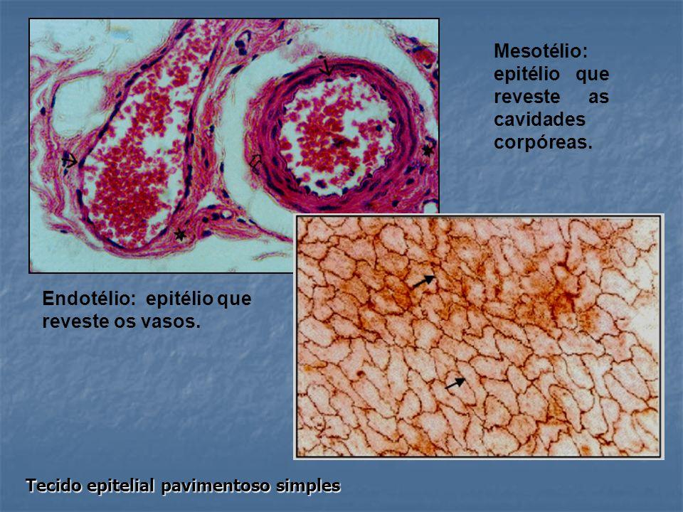 Mesotélio: epitélio que reveste as cavidades corpóreas.
