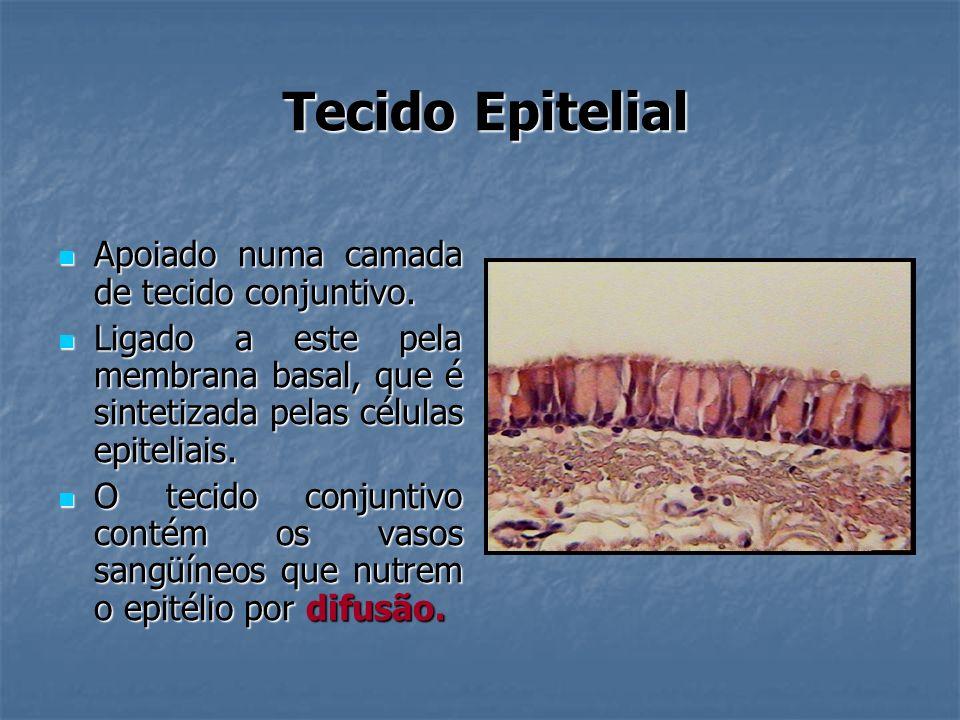 Tecido Epitelial Apoiado numa camada de tecido conjuntivo.