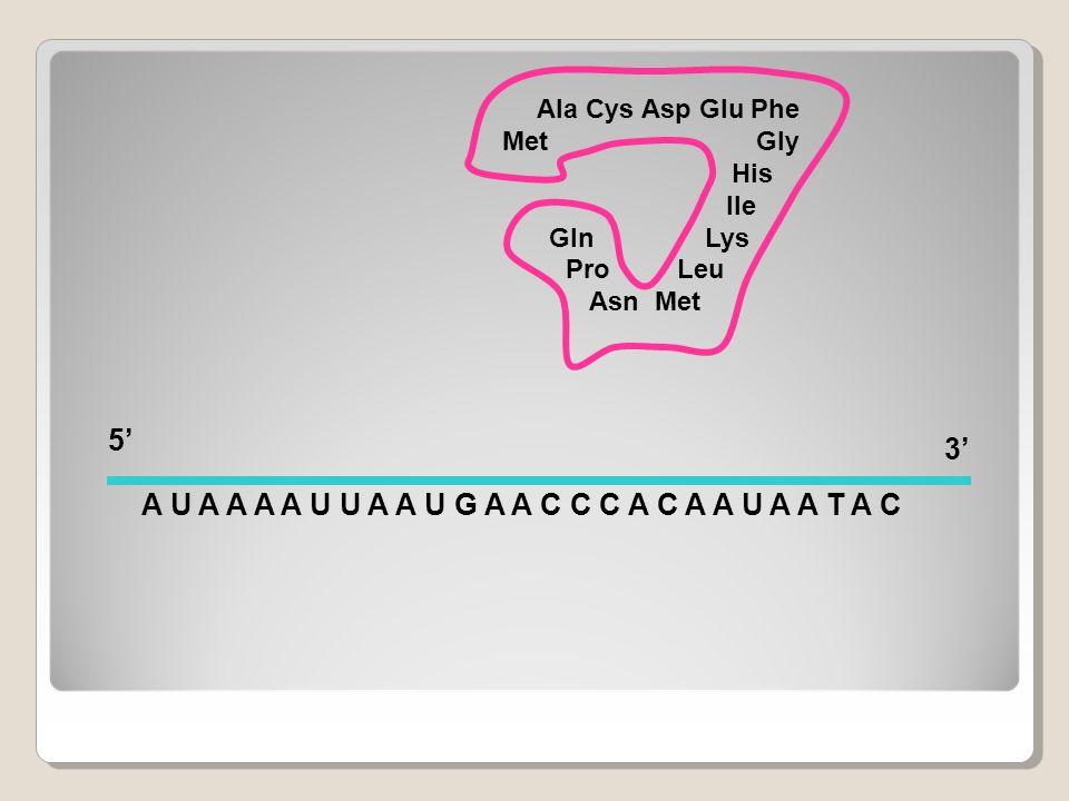 A U A A A A U U A A U G A A C C C A C A A U A A T A C 5' 3'