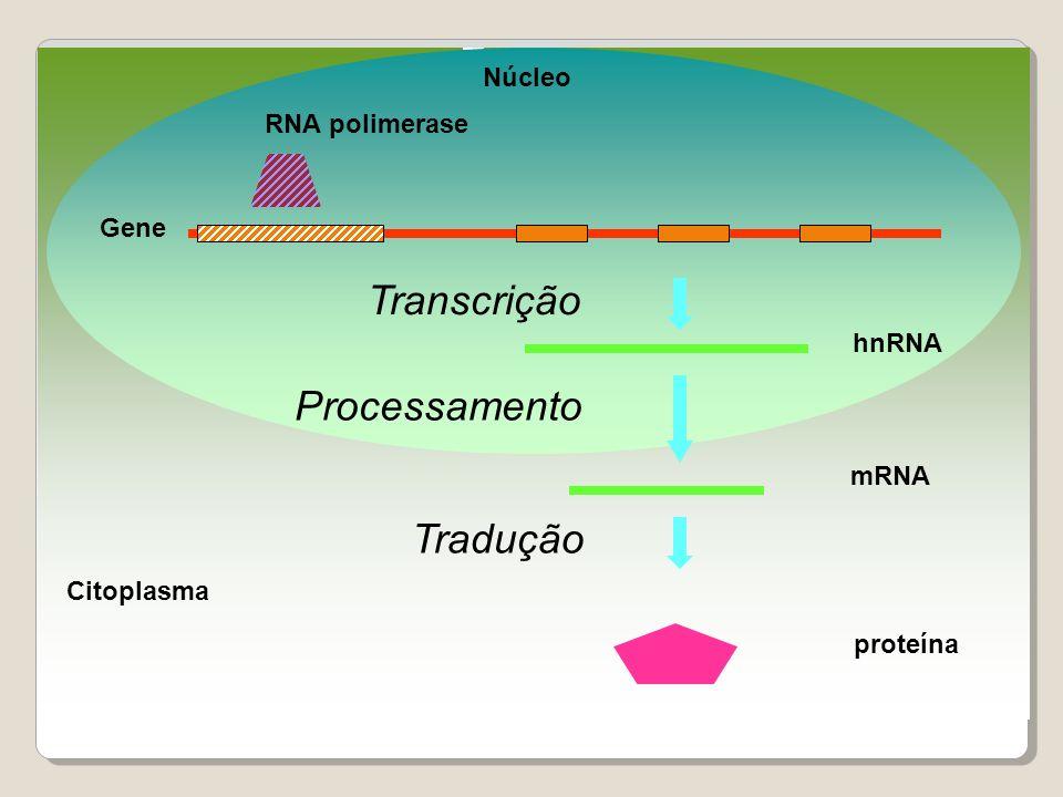 Transcrição Processamento Tradução Núcleo RNA polimerase Gene hnRNA