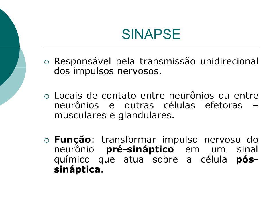 SINAPSE Responsável pela transmissão unidirecional dos impulsos nervosos.