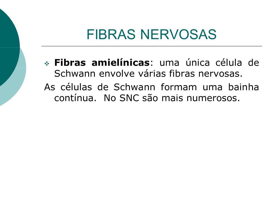 FIBRAS NERVOSAS Fibras amielínicas: uma única célula de Schwann envolve várias fibras nervosas.
