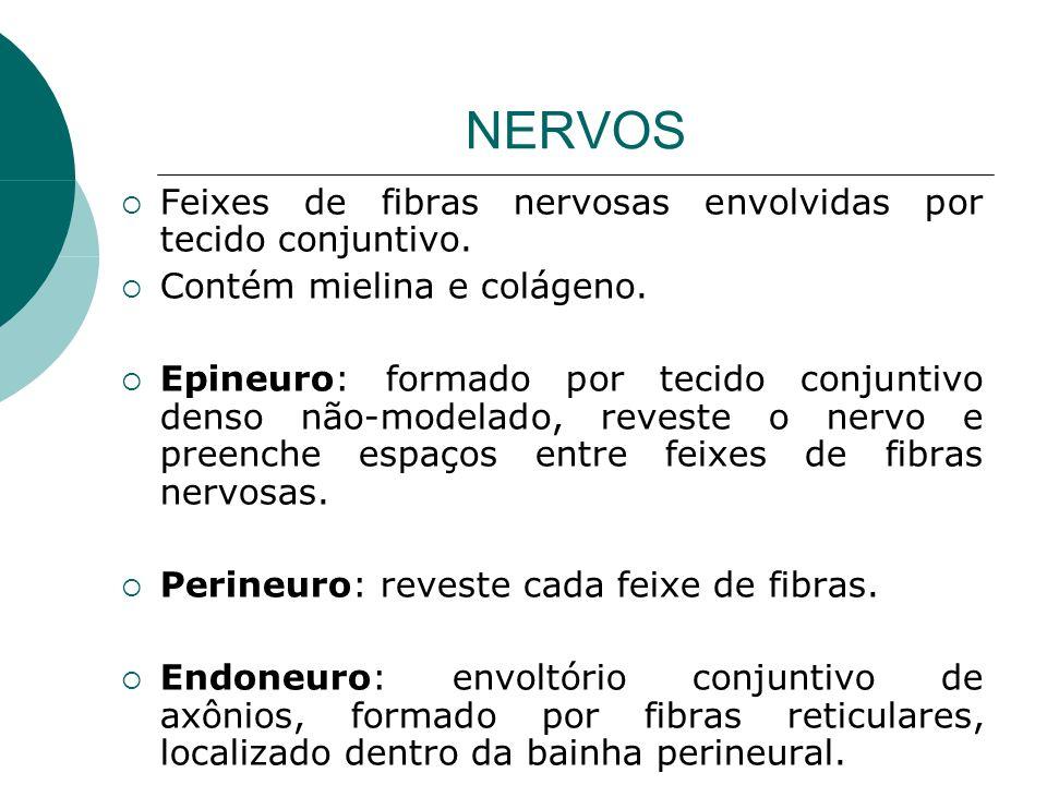 NERVOS Feixes de fibras nervosas envolvidas por tecido conjuntivo.