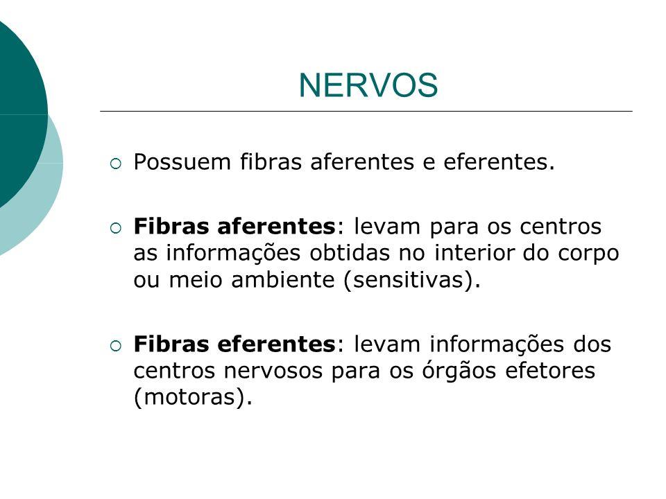 NERVOS Possuem fibras aferentes e eferentes.