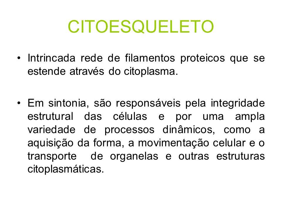CITOESQUELETO Intrincada rede de filamentos proteicos que se estende através do citoplasma.