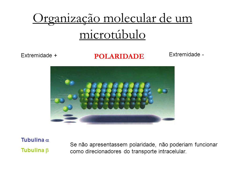 Organização molecular de um microtúbulo