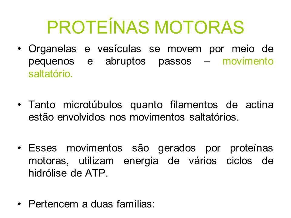 PROTEÍNAS MOTORAS Organelas e vesículas se movem por meio de pequenos e abruptos passos – movimento saltatório.
