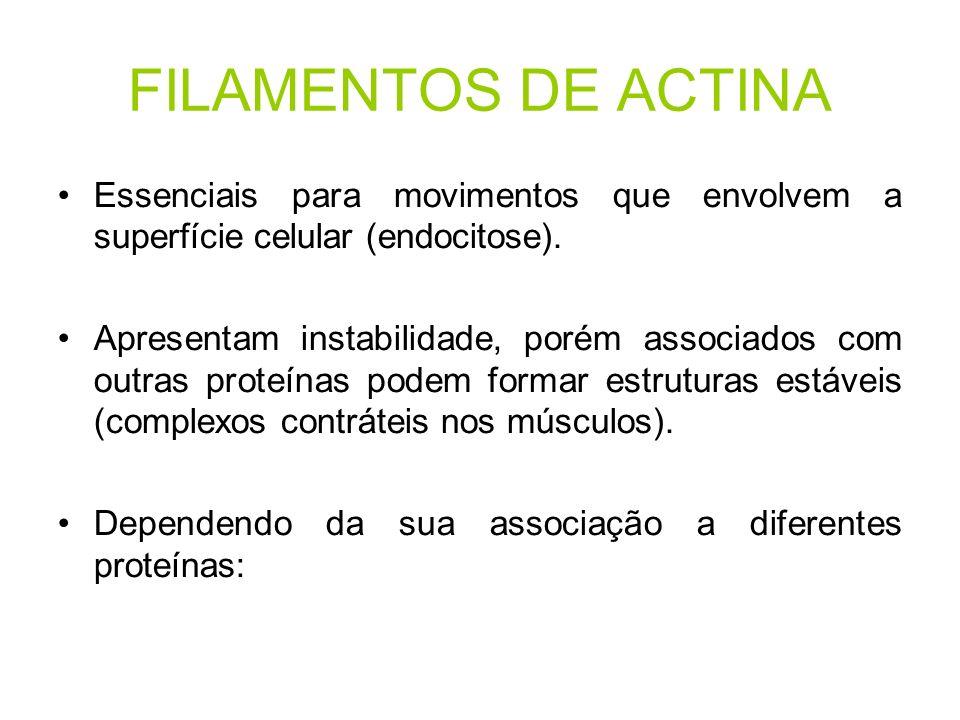 FILAMENTOS DE ACTINA Essenciais para movimentos que envolvem a superfície celular (endocitose).