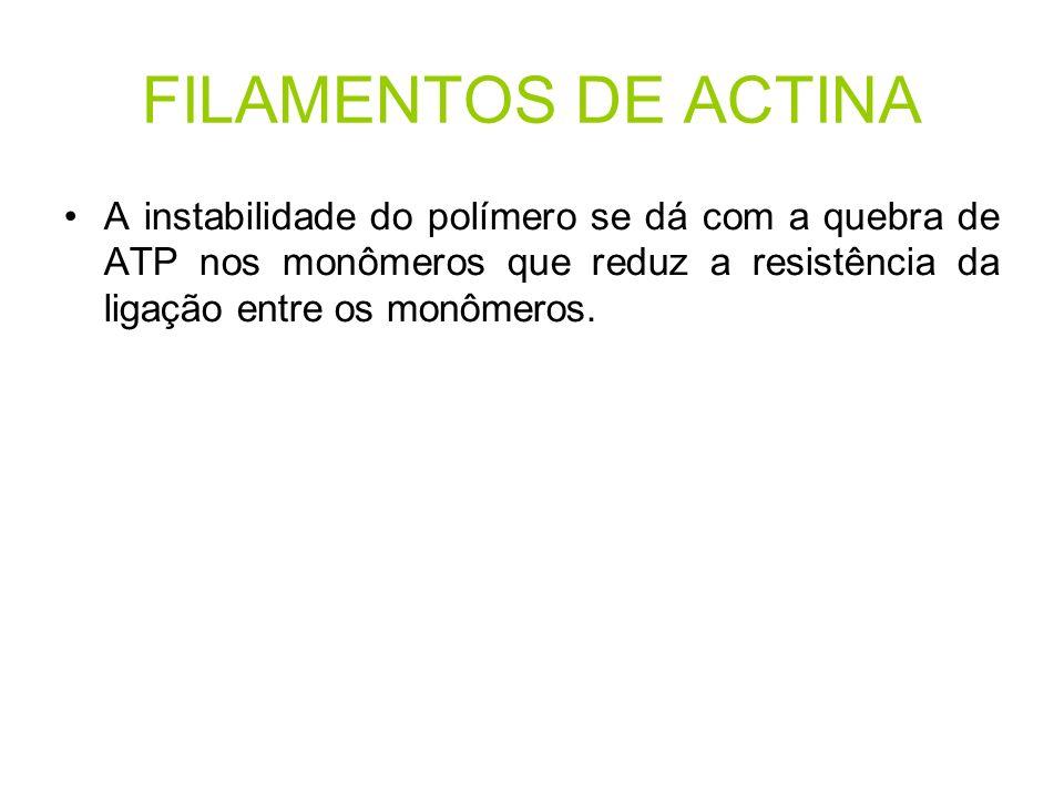 FILAMENTOS DE ACTINA A instabilidade do polímero se dá com a quebra de ATP nos monômeros que reduz a resistência da ligação entre os monômeros.