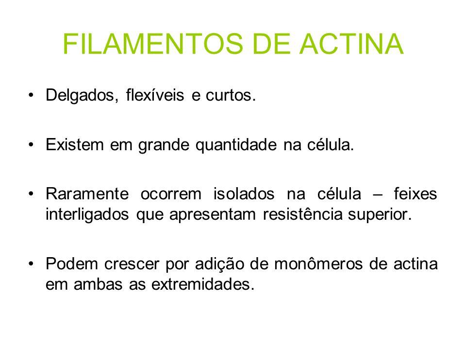FILAMENTOS DE ACTINA Delgados, flexíveis e curtos.