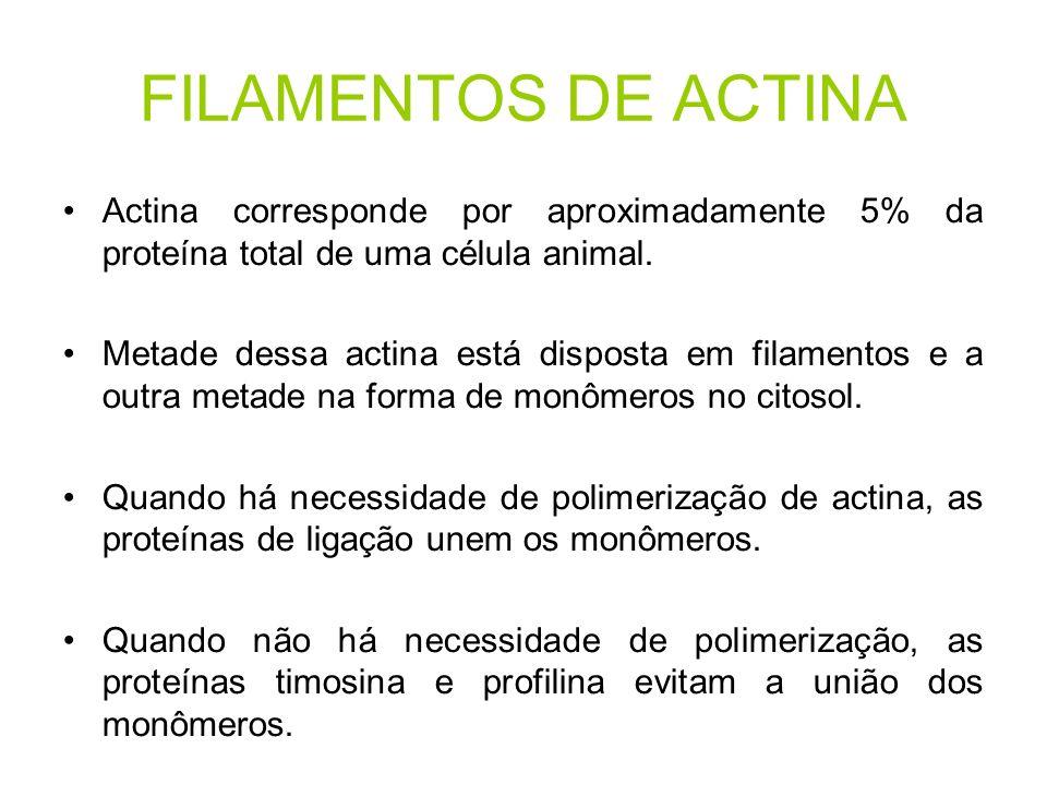 FILAMENTOS DE ACTINA Actina corresponde por aproximadamente 5% da proteína total de uma célula animal.