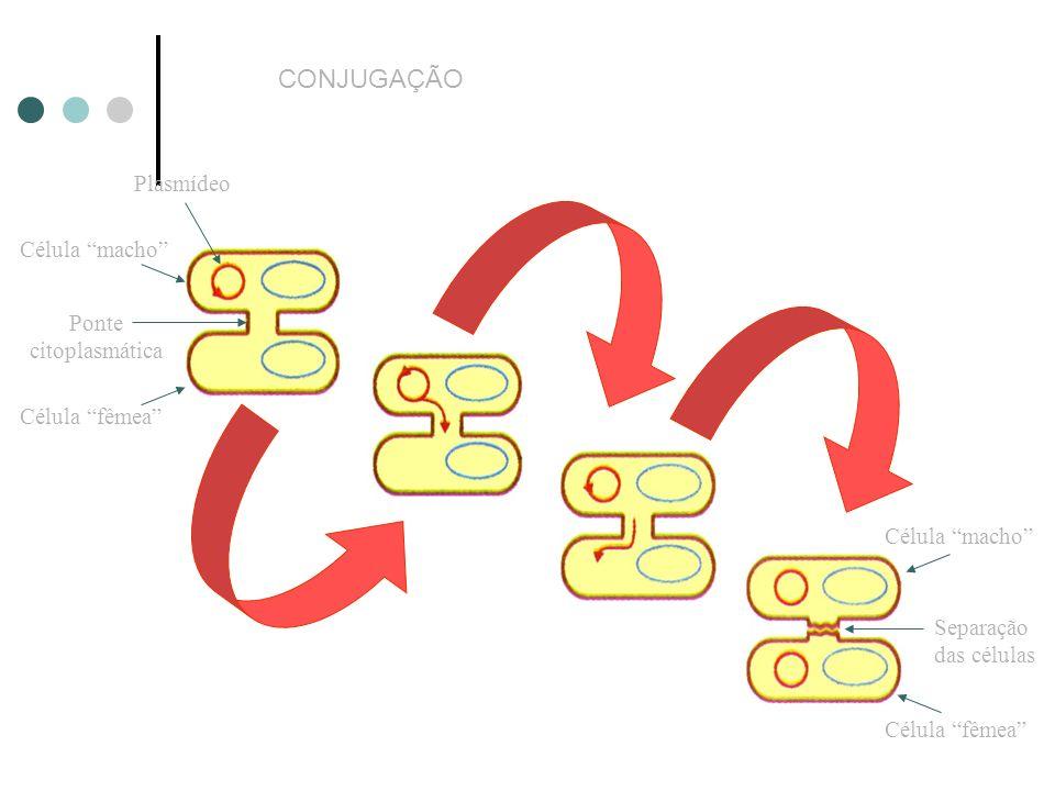 CONJUGAÇÃO Plasmídeo Célula macho Ponte citoplasmática