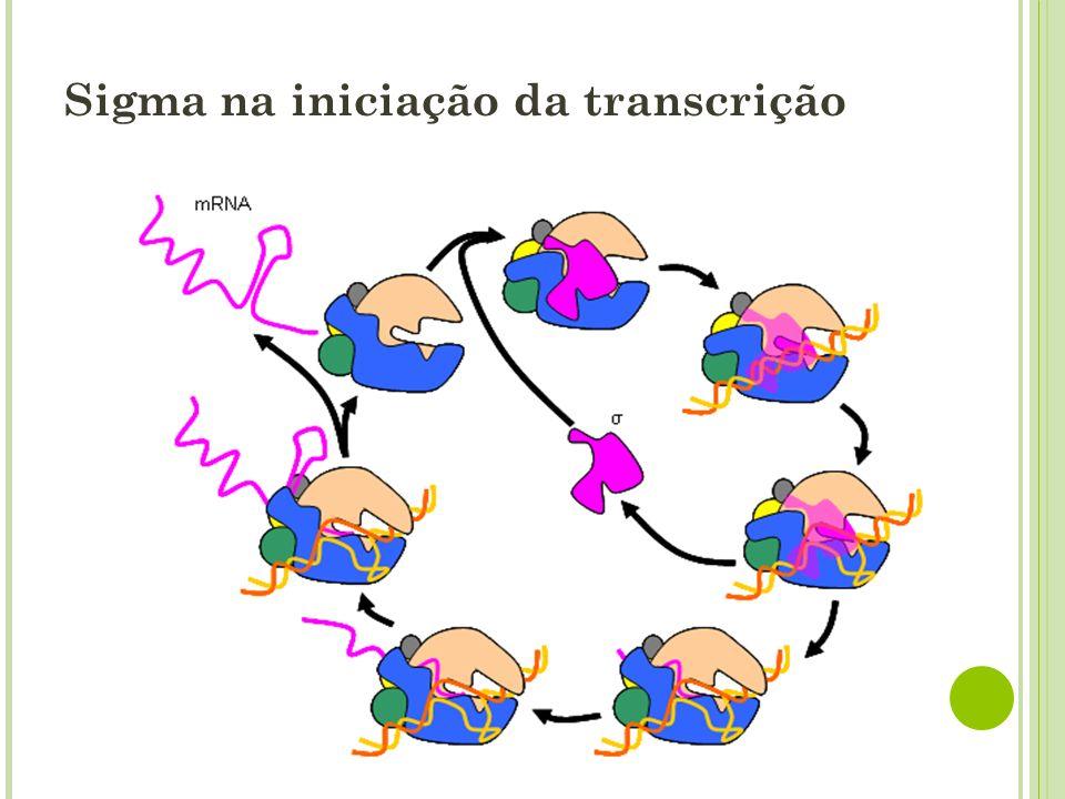 Sigma na iniciação da transcrição