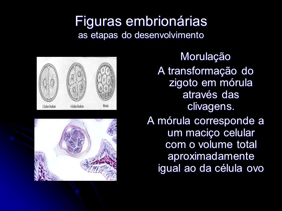 Figuras embrionárias as etapas do desenvolvimento